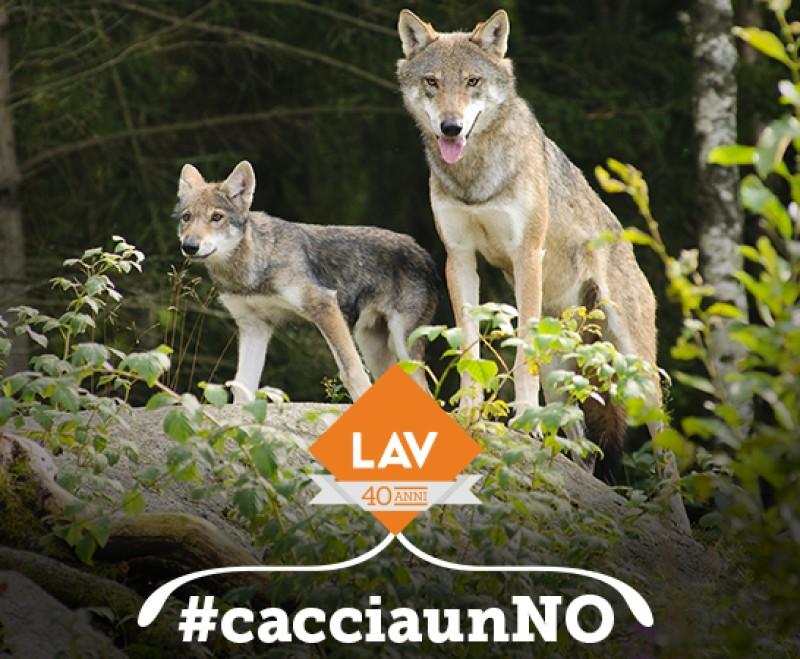 L'uccisione dei lupi è sempre ingiustificata.Il 2 febbraio #cacciaunNO