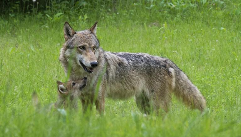 Regioni non approveranno piano lupi. Rimandato al Ministro Galletti