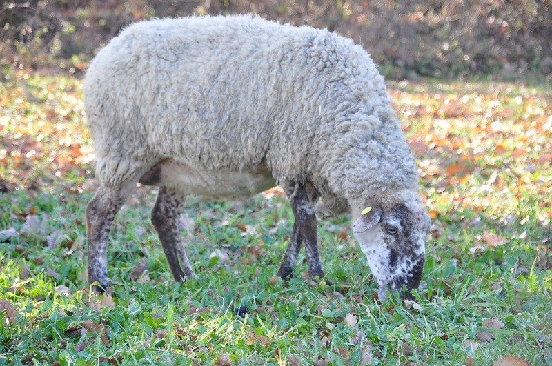"""Sardegna: no a uccisione pecore """"vecchie"""" contro caro-latte. E' reato!"""
