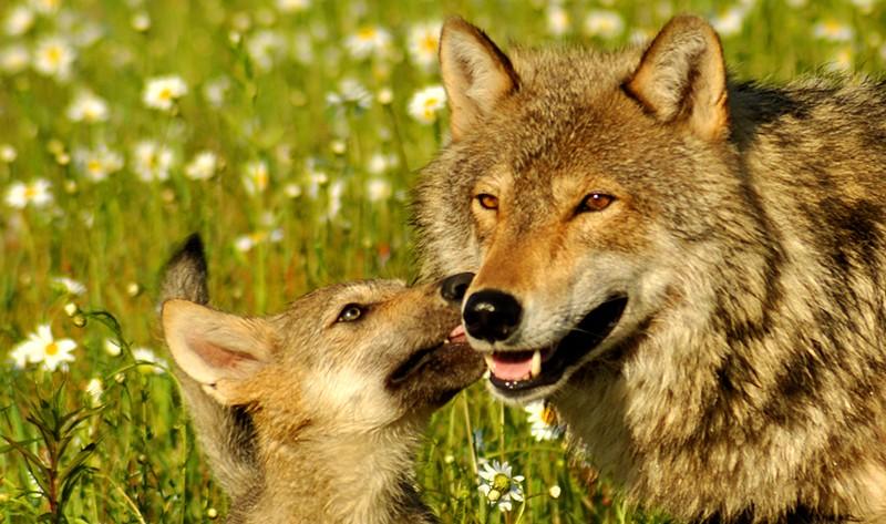 Il lupo va protetto non ucciso: replica LAV agli agricoltori altoatesini