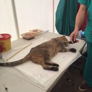 Interventi di cattura e sterilizzazioni al Campo LAV
