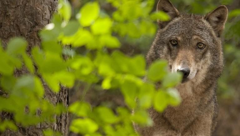 """Inviato a Presidenti di Regione il nostro decalogo """"dalla parte del lupo"""""""