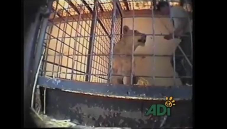 Circhi: video shock svela 15 anni di maltrattamenti agli animali in UK