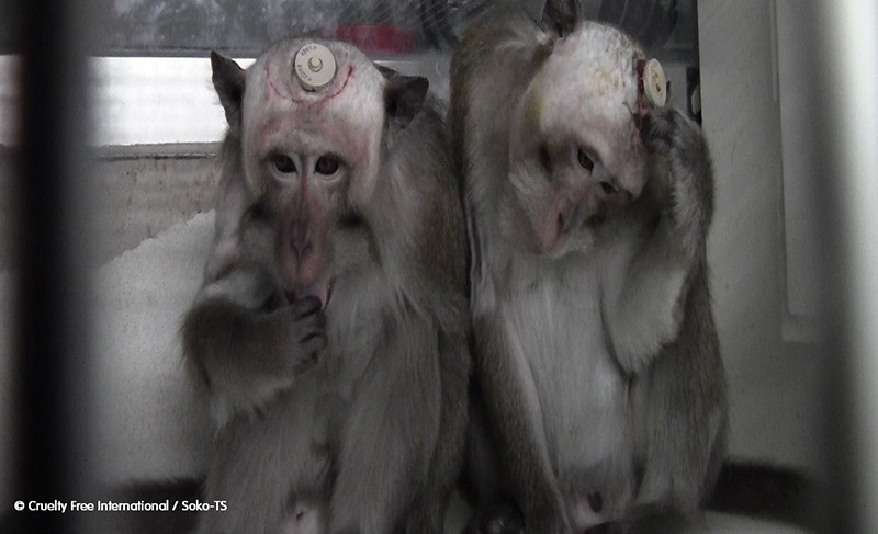 Fonte: Cruelty Free International copyright MPI Monkeys