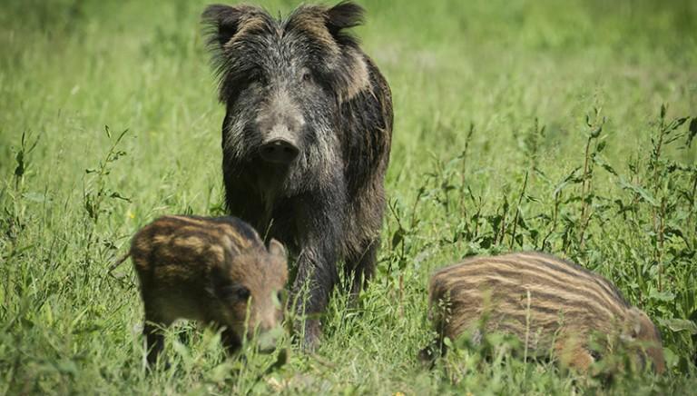 Cinghiali: legittima difesa agricola favore ai cacciatori