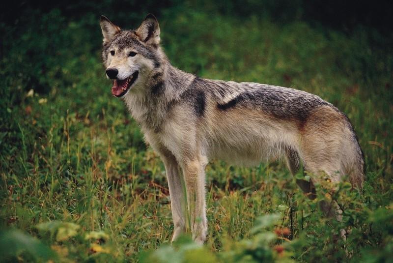 Cittaducale (Rieti): lupo ucciso, impiccato e appeso nei boschi