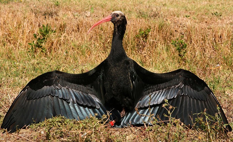 "Foto fonte: ""Reason for Hope - Reintroduction of the Northern Bald Ibis in Europe"" http://waldrapp.eu/index.php/en/en-home"