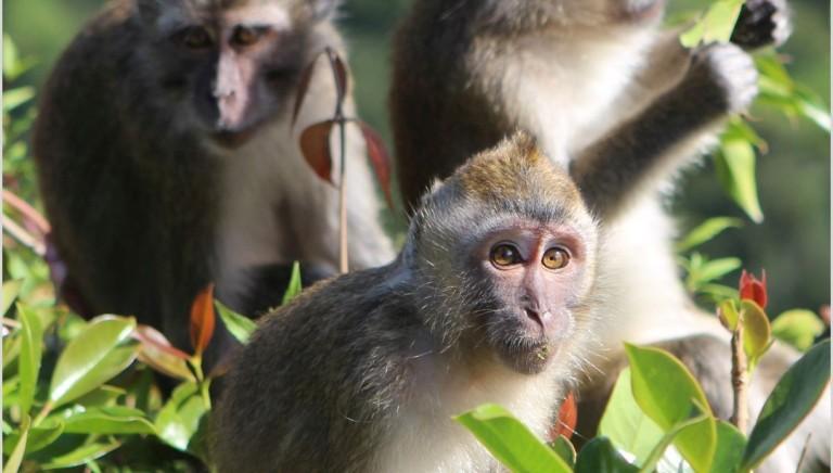 Air France complice del commercio di scimmie per la vivisezione. Scrivi!