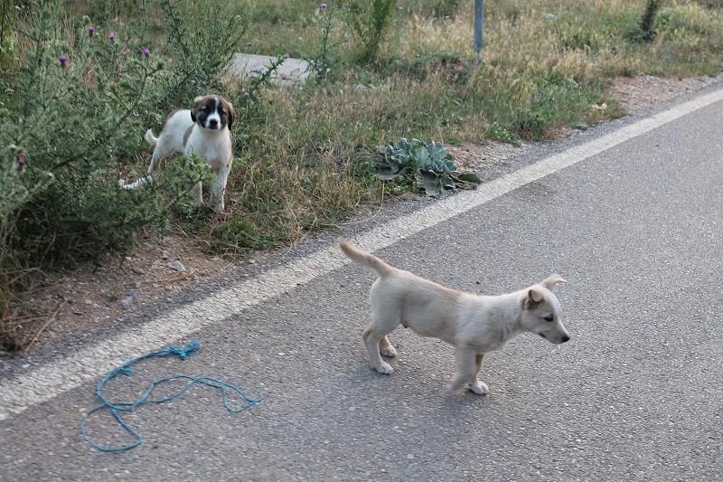 Cuccioli randagi su una strada del Kosovo