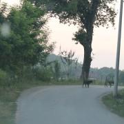 Due dei numerosi randagi sulle strade del Kosovo