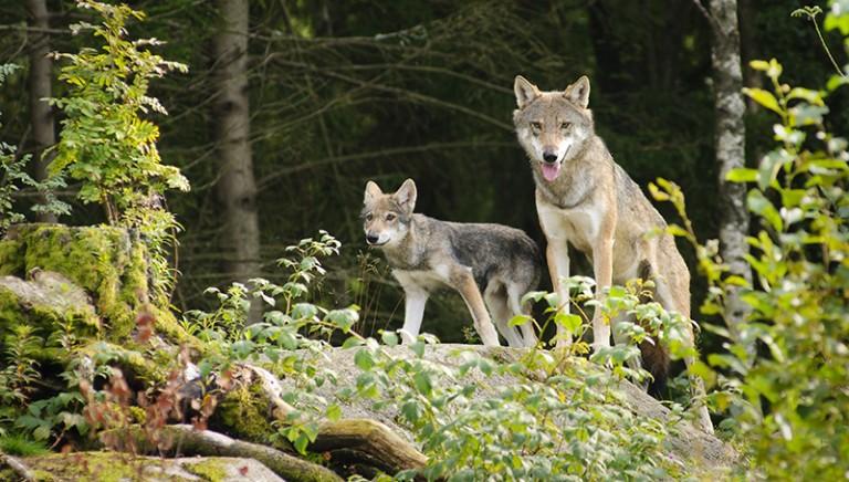 Lupi: Regione Veneto propone ergastolo per gli animali