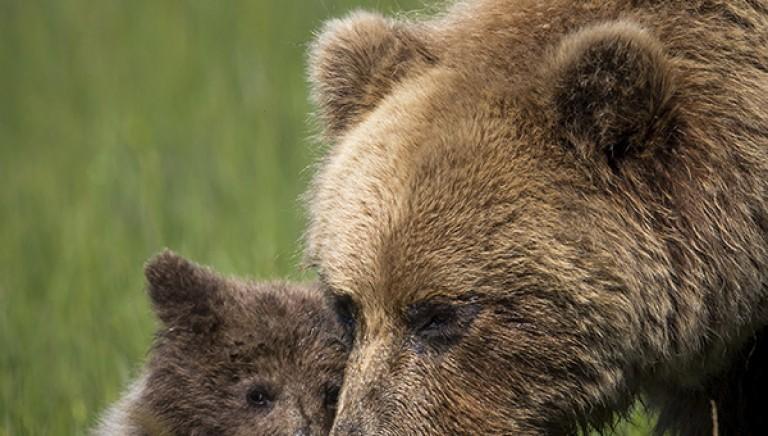 Mamma orsa KJ2: uccisa per essersi difesa. La nostra denuncia