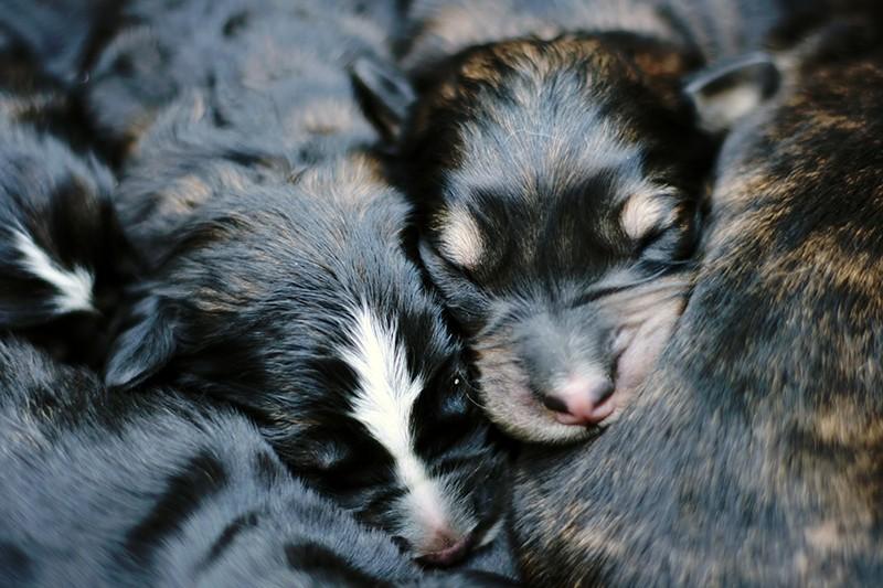 Traffico cuccioli: confermata condanna in Cassazione per titolare di un centro cinofilo