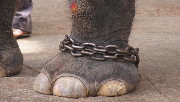 American Circus, la Cassazione: NO detenzione elefanti a catena corta