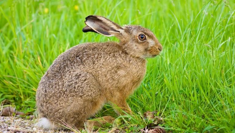 Conigli Isola del Giglio: inizia, su nostra denuncia, processo per bracconaggio