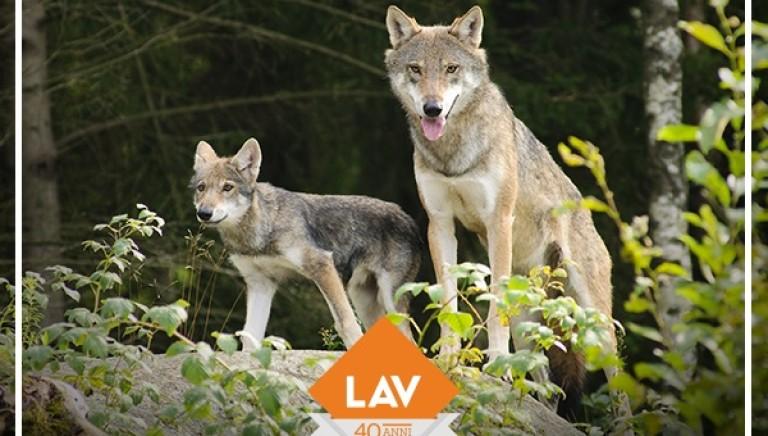 Si decide la sorte dei lupi: Conferenza Stato Regioni, #cacciaunNO!
