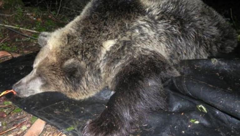 Caso uccisione orsa KJ2 verso l'archiviazione: ci opporremo