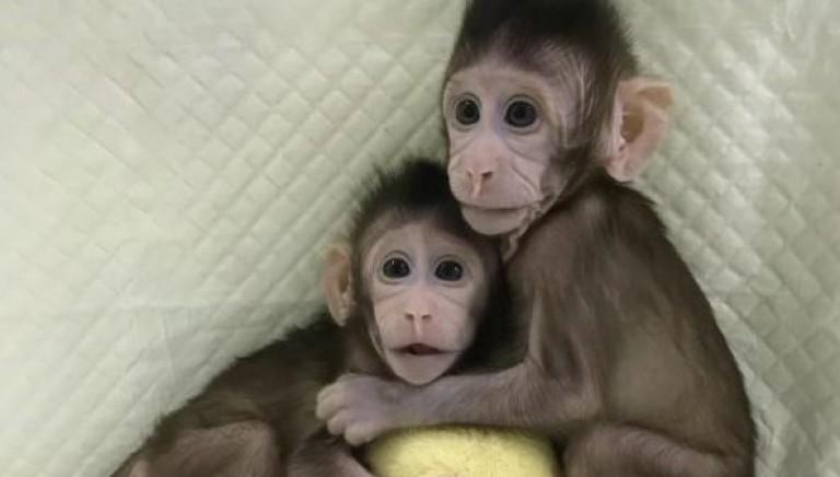 Scimmie clonate, quando l'uomo gioca a fare Dio