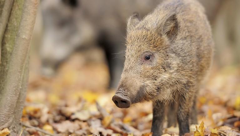 Cacciatori non avranno mano libera nei piani di controllo della fauna selvatica