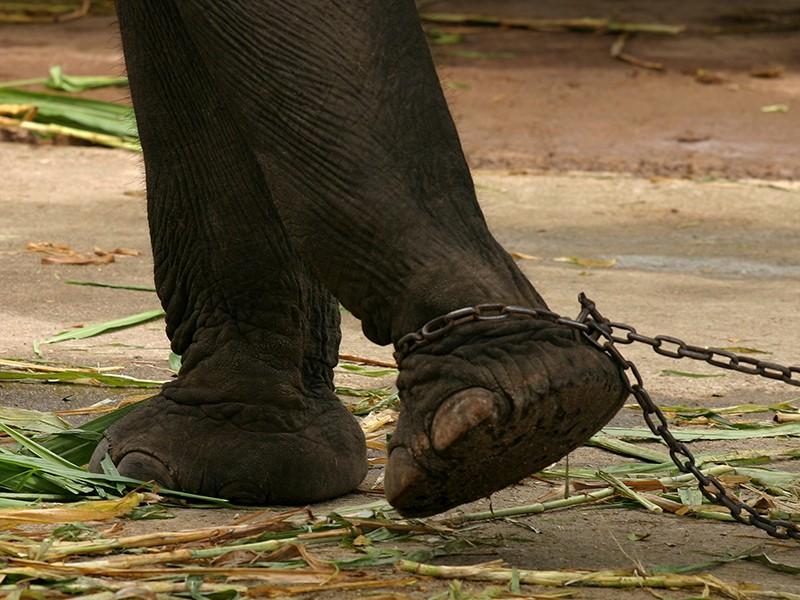 Tenere elefanti a catena è reato, lo dice, ancora una volta, la Cassazione