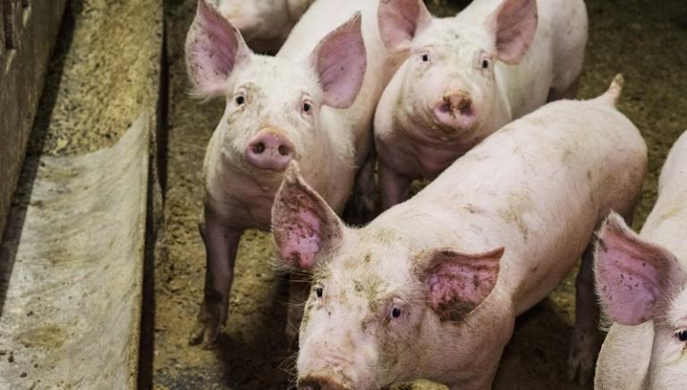 """Indagine shock sui maiali destinati anche a Prosciutto di Parma e altre """"eccellenze"""""""