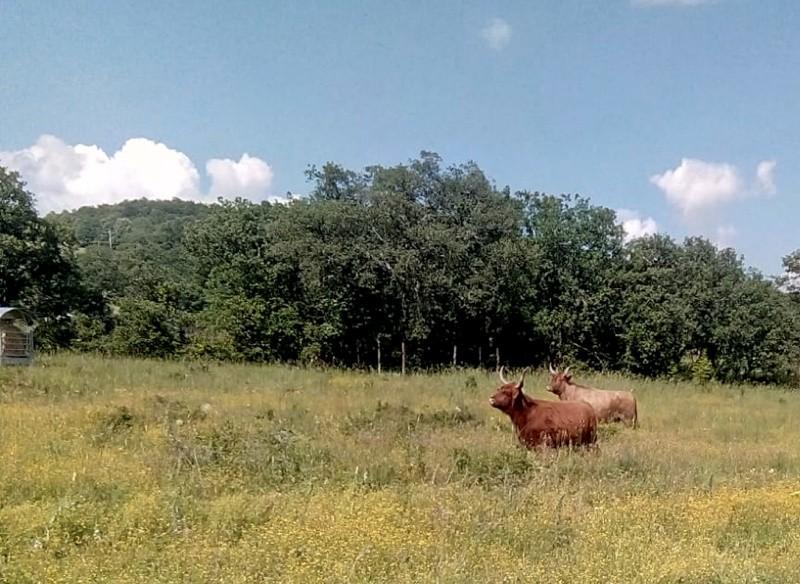 I due bovini scozzesi