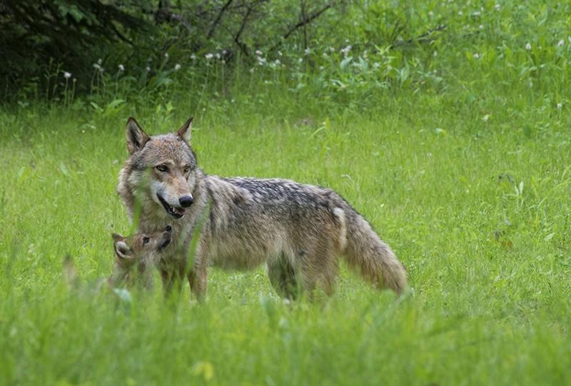 Trentino vuole via libera uccisione lupi e orsi: Governo impugni norma illegittima!