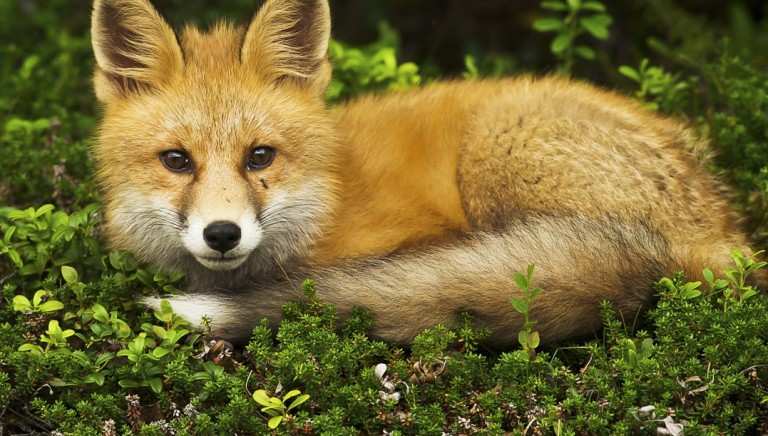 Vittoria! Lussemburgo vieta allevamenti di animali per la produzione di pellicce