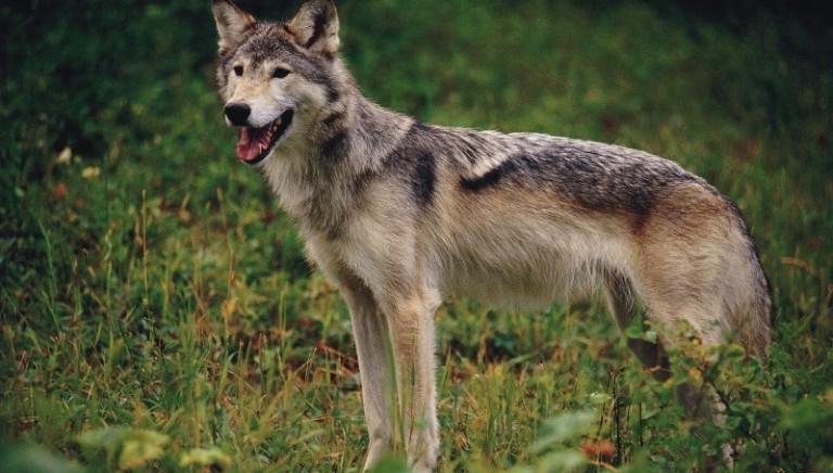 Lupi: nessuna cattura all'Argentario con trappole autorizzate a marzo