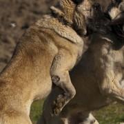 Combattimento tra cani