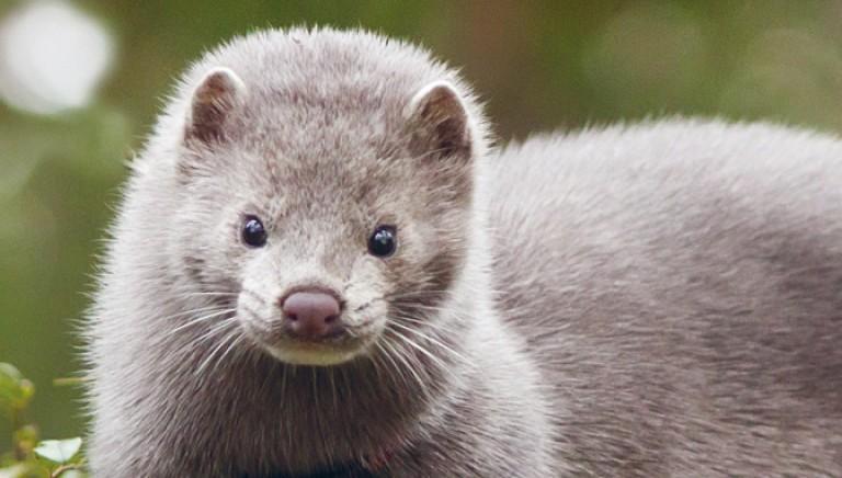Una conquista storica: il Belgio chiude gli allevamenti di animali per pellicce