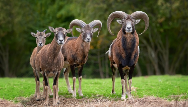 #IOVIVOQUI: fermiamo lo sterminio dei mufloni dell'Isola d'Elba. Abbiamo scritto al Ministro Costa