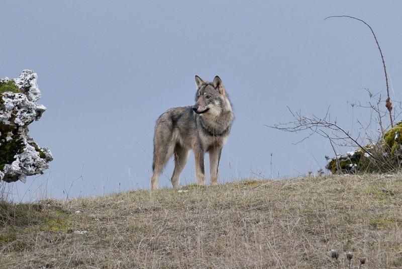 Lupi, anche la Toscana annuncia legge anti lupi, in contrasto con linea del Ministro Costa