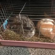 Conigli recuperati e ospitati da volontari. La loro famiglia è sfollata in attesa di alloggio
