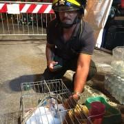 Il recupero dei conigli, ad opera dei Vigili del fuoco