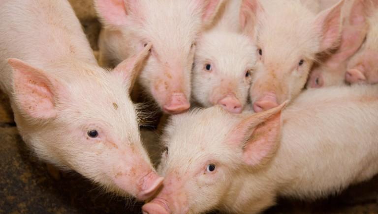 #ENDPIGPAIN: un milione di cittadini UE chiede la fine delle mutilazioni dei maiali