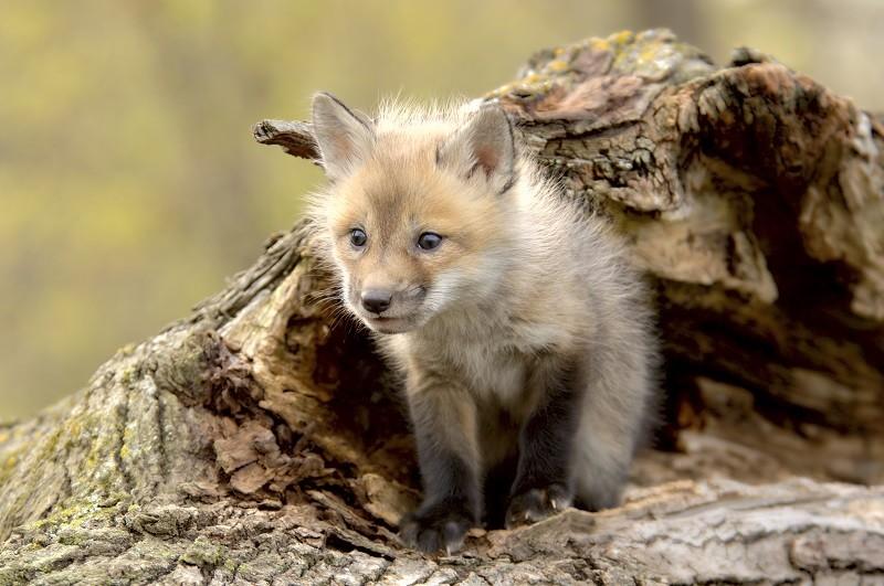 Un cucciolo di volpe in natura, foto di archivio (C) LAV