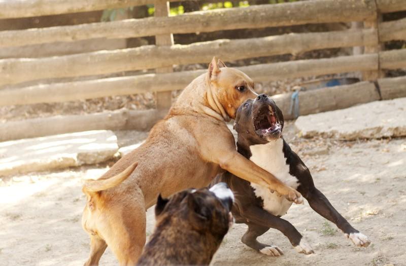 Combattimenti tra cani: un allarme mai cessato