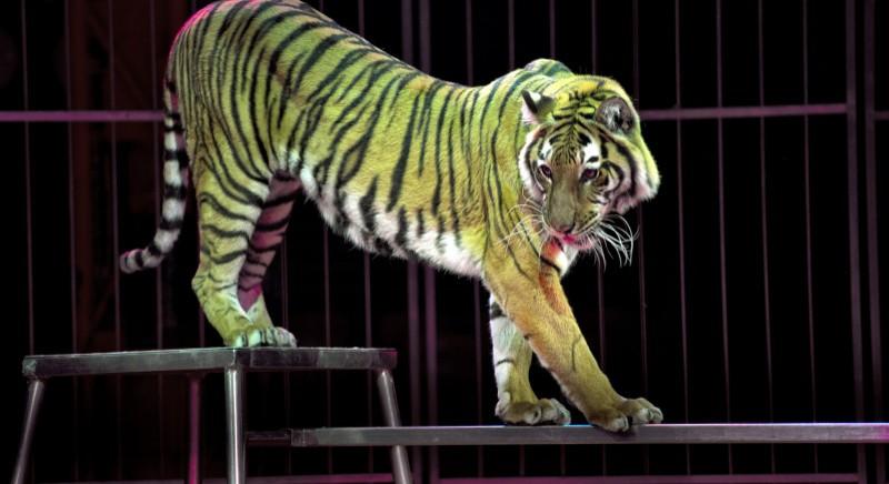 Circo: tigri coinvolte in incidente stradale. Stress enorme per animali: il Governo cosa aspetta? #CAMBIACIRCO