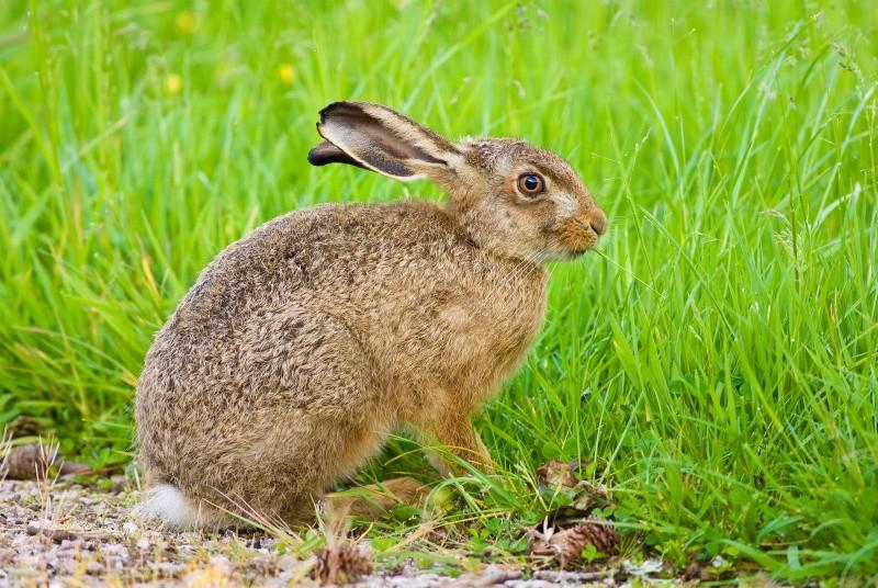 Bracconaggio dei conigli all'Isola del Giglio: prima condanna dopo nostra denuncia