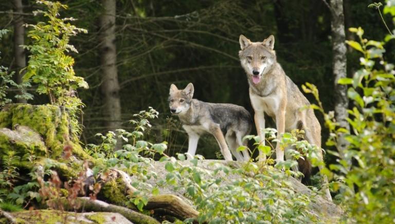 Legittima difesa: Ministro Centinaio, giù le mani dai lupi! #BASTASPARARE!