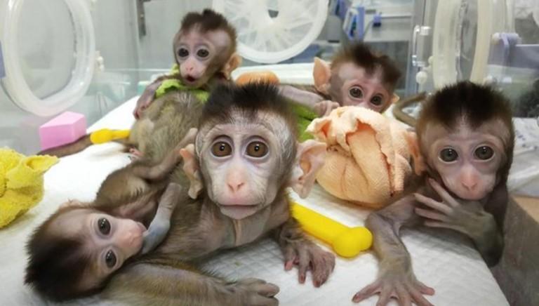 Orrore, clonate in Cina 5 scimmie per studiare insonnia, diabete e tumori: rendere noti costi e fallimenti