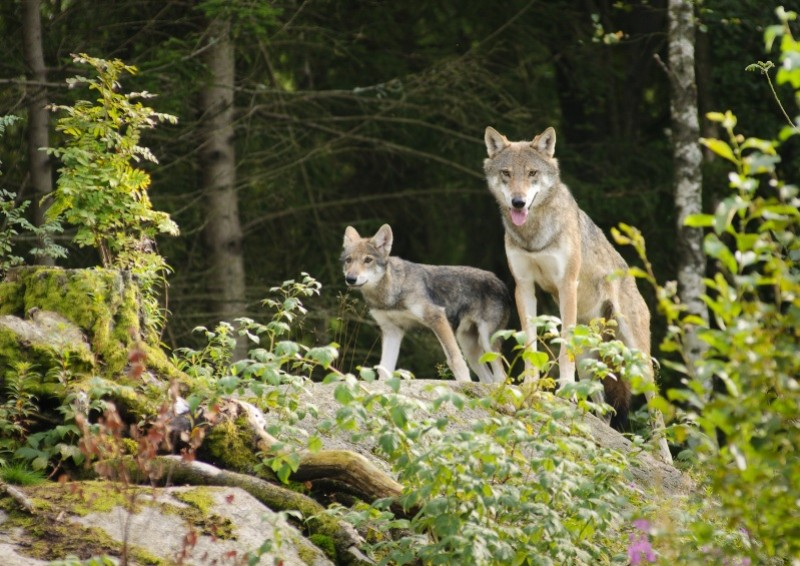 """Il Ministro dell'Ambiente Costa: """"lupi e orsi non si uccidono!"""""""