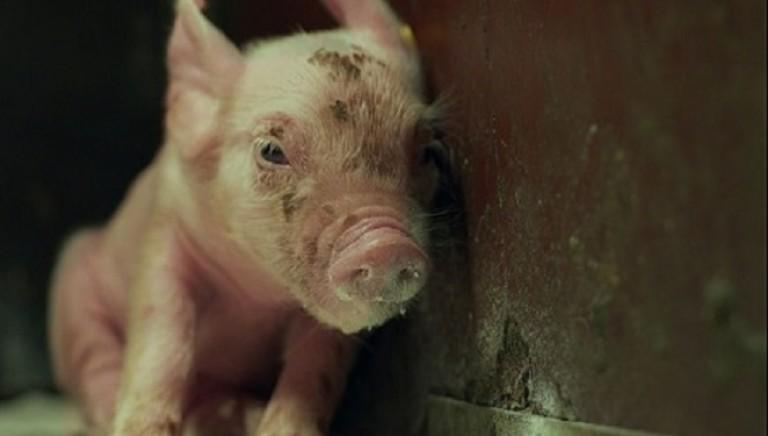 M6NTHS: in esclusiva il cortometraggio sulla vita di un maialino in allevamento