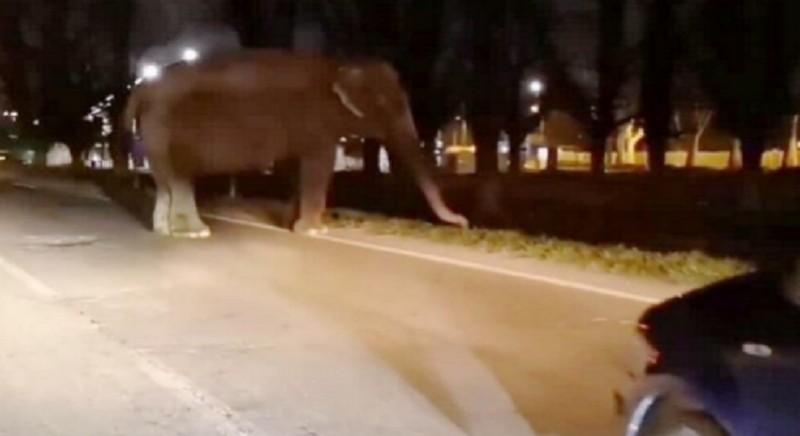 Elefante in fuga vaga per Milano: quale sicurezza? Basta circo con animali!
