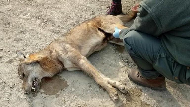 Tre lupi uccisi dai bocconi avvelenati: no alla caccia nelle aree interessate!