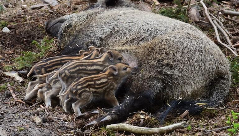 Biella, uccisa mamma cinghiale: la nostra diffida per salvare i cuccioli!