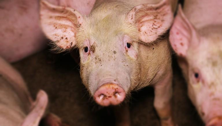 La Via della seta, via della sofferenza per gli animali e il nostro Paese