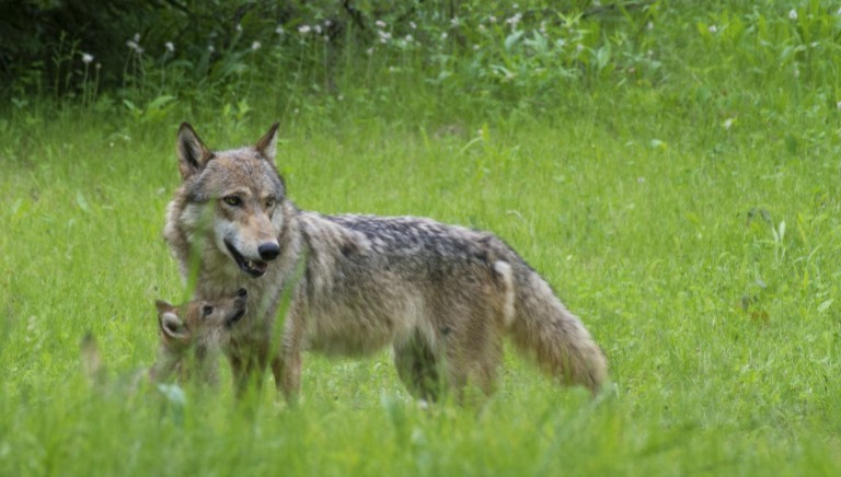 Finalmente il piano che non prevede uccisioni di lupi, ibridi e cani vaganti!