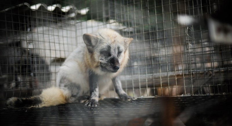 Fur: collapse for consumption and price. Fur industry is in crisis